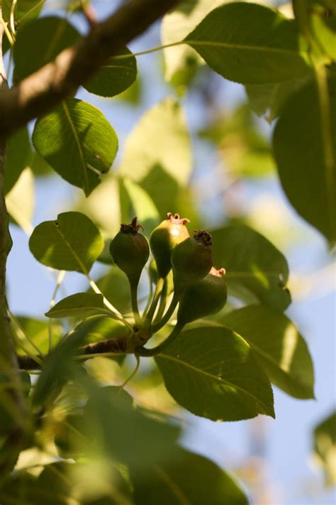 How To Thin Fruit Trees  Lady Lee's Home