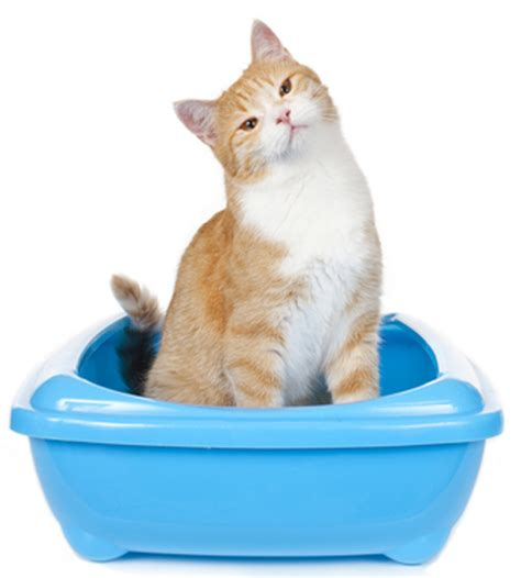 how often do cats go into heat how often should a kitten go to the bathroom 28 images how often does female cat go into