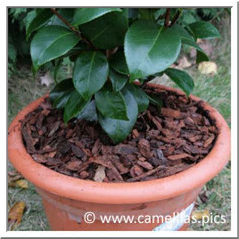 arrosage camelia en pot 28 images lot de 3 aquaflora arrosage automatique pour plante en pot