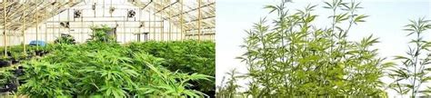 la culture de cannabis en int 233 rieur ou ext 233 rieur high supplies