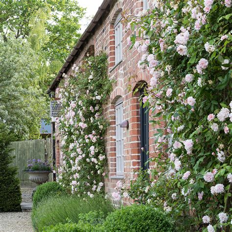 How To Plant Climbing Roses, Clematis, Jasmine And Other