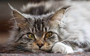 coon cats cat breed maine coon the pet net