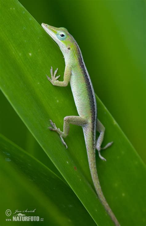green anole cuban green anole photos cuban green anole images nature wildlife pictures naturephoto