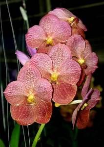 Orchidee Vanda Pflege : ber ideen zu orchideen pflege auf pinterest ~ Lizthompson.info Haus und Dekorationen