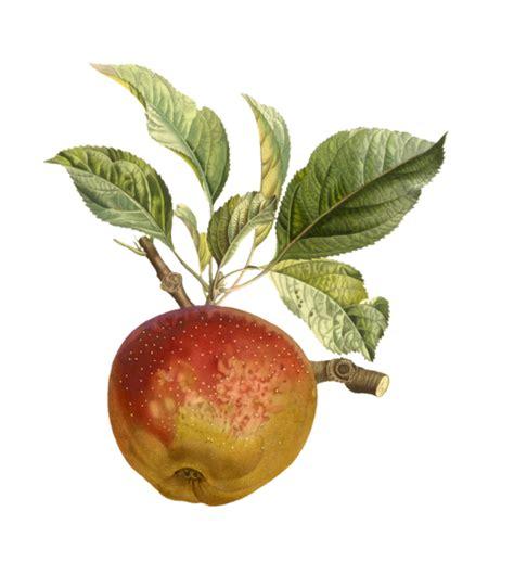 Apple Fruit Fruit Vintage Free Stock Photo - Public Domain ...