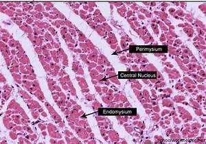 Cardiac-Muscle-Cross-section-slide-labelled-histology ...