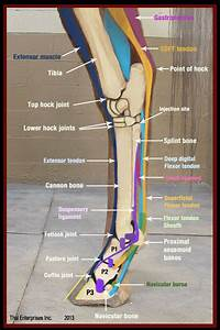 17 Best Images About Equine Anatomy On Pinterest