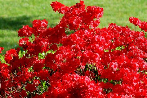 Evergreen Choice For A Red Azalea