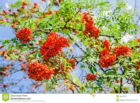 blooming ashberry tree stock images image 26927974