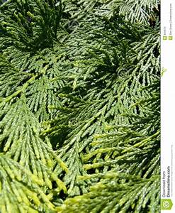 Evergreen Stock Photo  Image Of Seasonal  Branch  Environment
