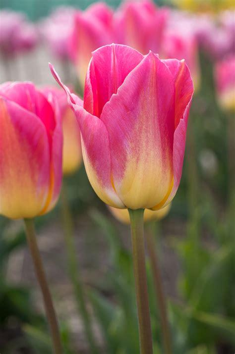 tulip bulbs item  tom pouce  sale