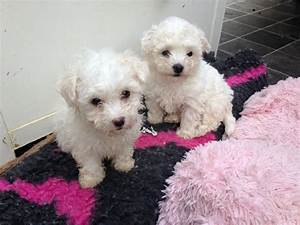 beautiful bolognese puppies for sale maidenhead