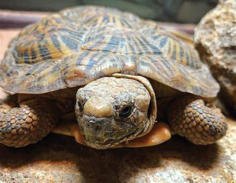 Kura-kura Pancake Si Kura-kura Dengan Punggung Gepeng ...