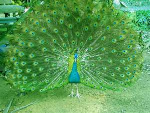 Beautiful Peacock wallpapers hd | full hd Wallpapers