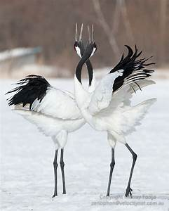 Image result for japanese red crowned crane | Animals ...