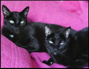 black siamese cat 17 best ideas about black siamese cat on