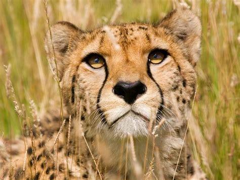 Cheetah Face-Animal HD Wallpaper Preview | 10wallpaper.com