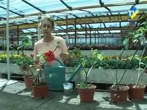 Taille De L Hibiscus : la taille et l 39 entretien des hibiscus youtube ~ Melissatoandfro.com Idées de Décoration