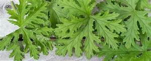 Pflanzen Gegen Wespen : bildquelle duc dao ~ Orissabook.com Haus und Dekorationen