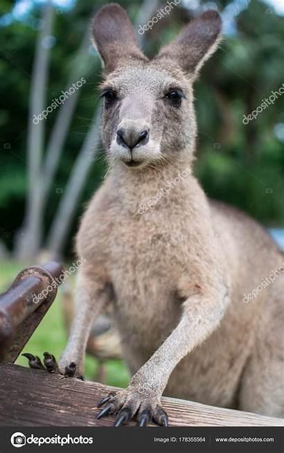 Kangaroo Face Funny Making Depositphotos