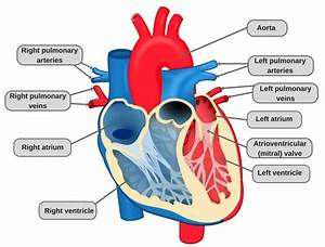 Circulatory System  Definition  Diagram And Functioning