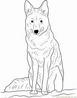 Coyote Sitting Coloring Drawing Pages Head Howling Coloringpages101 Getdrawings sketch template