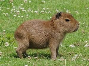 Capybara | Cuteness Overdose | Pinterest
