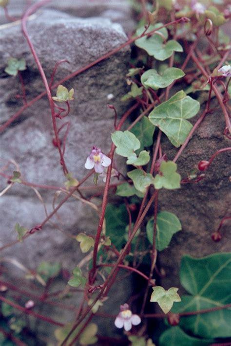pflanzen für trockenmauer trockenmauern anlegen garten wissen
