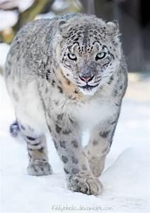 1000+ images about Snow Leopard on Pinterest   Snow ...