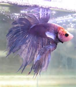 Purple Crown Tail Betta Fish