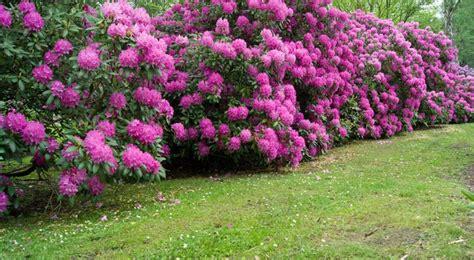 rhododendron en pot entretien rhododendron semis entretien culture et arrosage