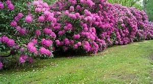 rhododendron semis entretien culture et arrosage With idee d amenagement exterieur 11 azalee azalea semis entretien culture et arrosage