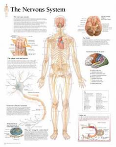 The Nervous System Educational Chart Poster Poster Print  22x28 1932922091