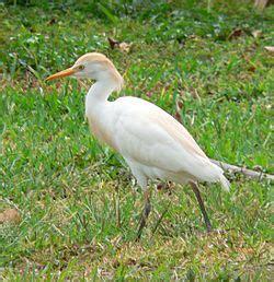 bubulcus ibis wikipedia la enciclopedia libre