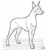 Doberman Coloring Pinscher Realistic Dogs Drawing Printable Puppy Clipart Supercoloring Dog Drawings Designlooter Getdrawings Dobermans Version Colorings 1575 98kb Cool sketch template