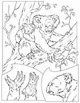 Koala Coloring Pages Printable Animal sketch template