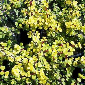 The gallery for --> Portulacaria Afra Hedge