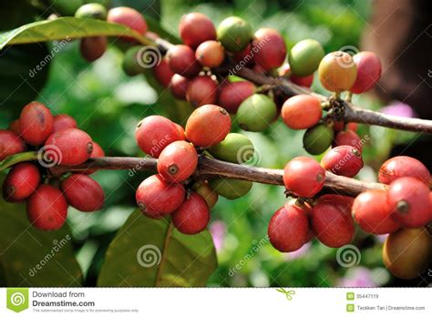Coffee Beans On Plant Royalty Free Stock Images Coffee To Go Vector Black And Decker Maker Dlx1050b Walmart With Grinder Manual Panera K Cup Ani Barach Kahi Download Says Cl
