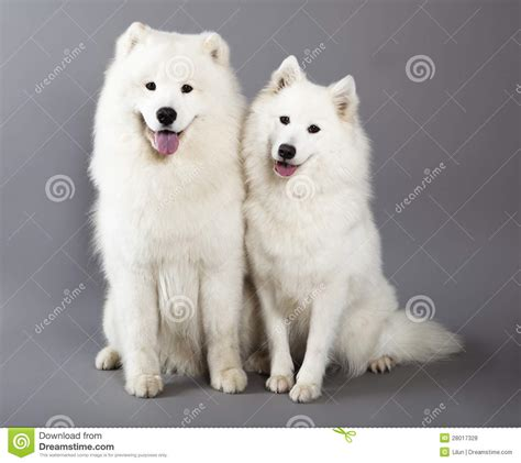 samoyed dogs stock photo image  biting cute collar