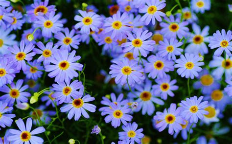 Marguerite Daisy Plants Blue Flowers Macro Photography