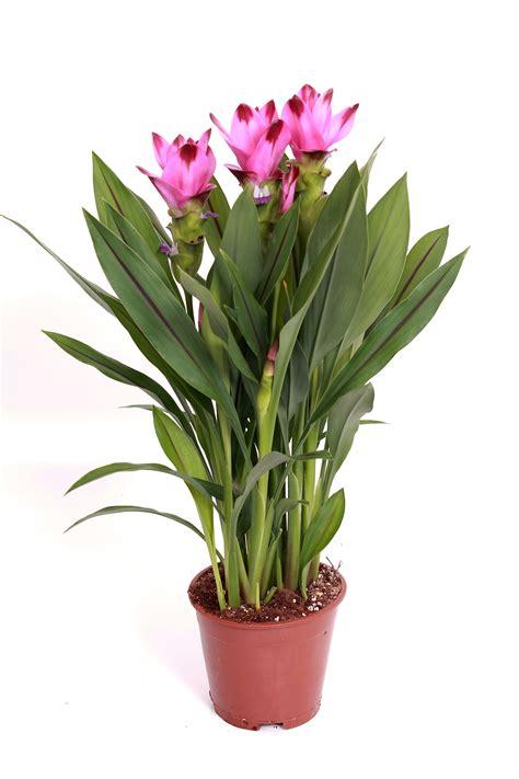 siam splash curcuma pot plants kp