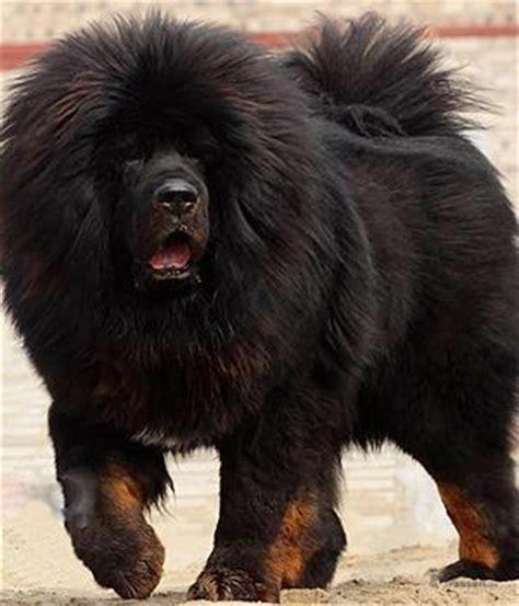 Large Non Shedding Guard Dogs by Do Khyi Hunderasse Mit Bild Info Temperament