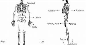 Anatomical Positional Terms