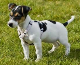 jack rat terrier info temperament puppies pictures