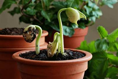 Seed Lima Bean Organic Gardener Growing Seeds