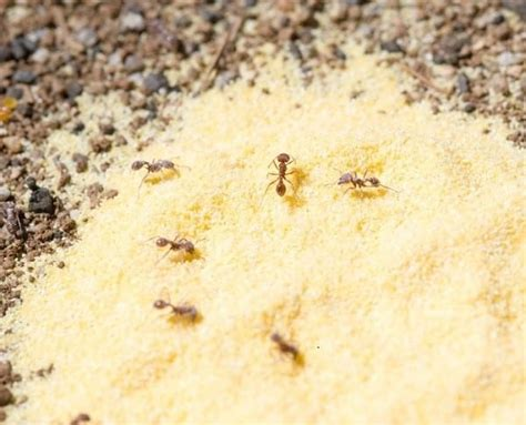 natural home remedies   rid  ants  home