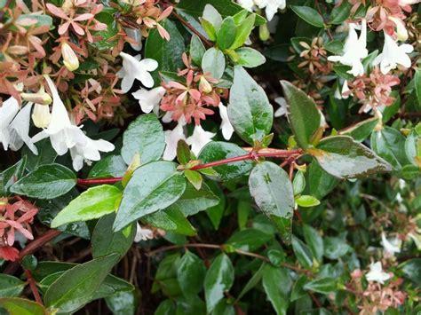 Pink Flowering Shrub Identification Related Keywords