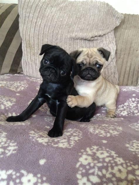 Adorable Puppy Pugs For Sale Wolverhampton West Midlands Petshomes