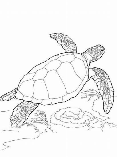 Turtle Coloring Sea Pages Printable Loggerhead Turtles