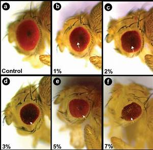 Abnormal Eye Phenotype Associated With V  Rosea Supplementation In